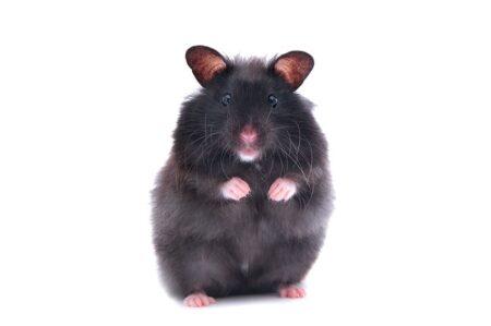 A black hamster stood up