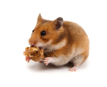 A hamster holding a snack