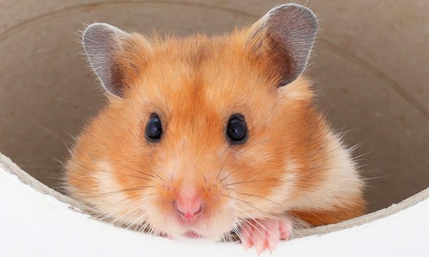 Een hamster kijkt uit een tunnel