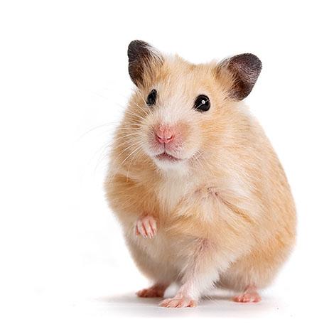 Een hamster met een voorpootje omhoog
