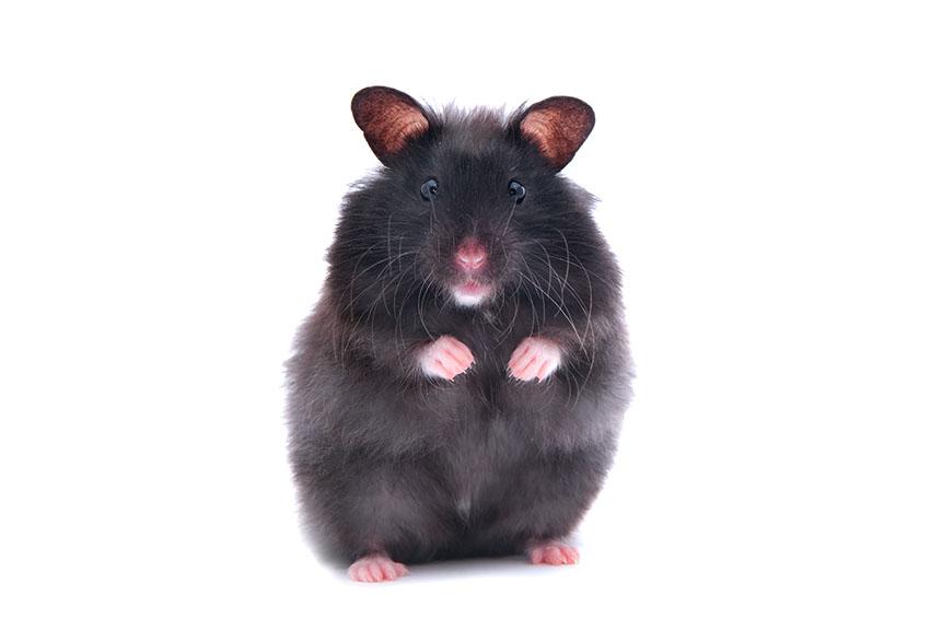 Een zwarte hamster staat rechtop