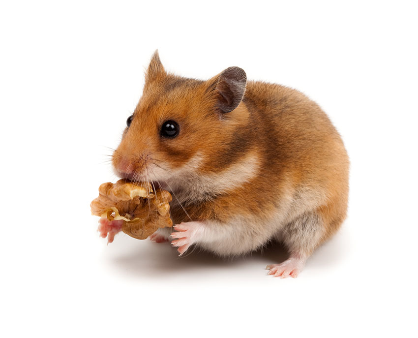 Een hamster die een snack vasthoudt
