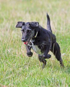 En svart og hvit, mellomstor terrier hund som hopper på gresset.