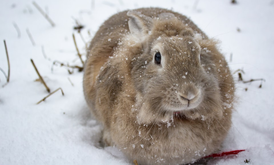 A fluffy brown rabbit in the snow