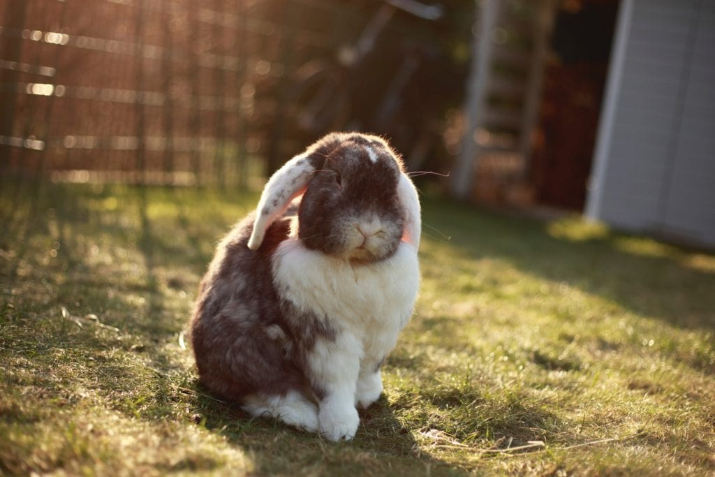 A grey and white fluffy rabbit sat outside