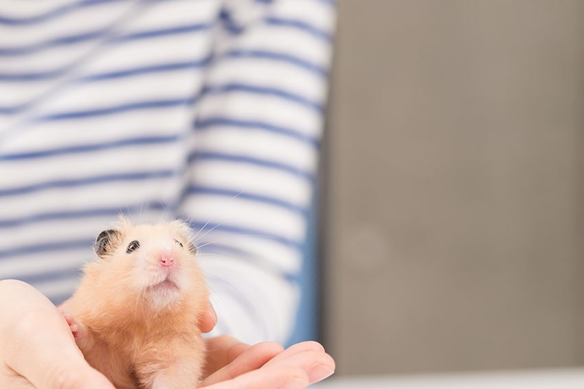 A cute hamster being held in someone's hands