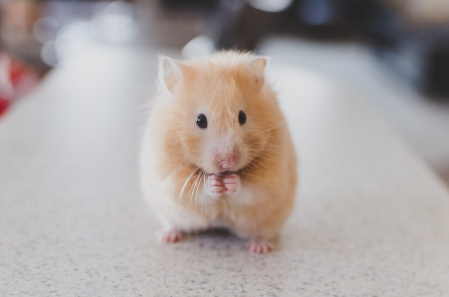 A hamster stood on its back legs