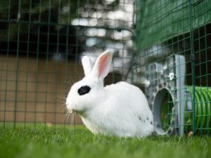 En vit kanin med svarta fläckar sitter på en gräsmatta 2