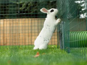 En vit kanin med svarta fläckar står på bakbenen på en gräsmatta