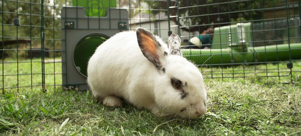 En vit kanin med svarta fläckar på en gräsmatta