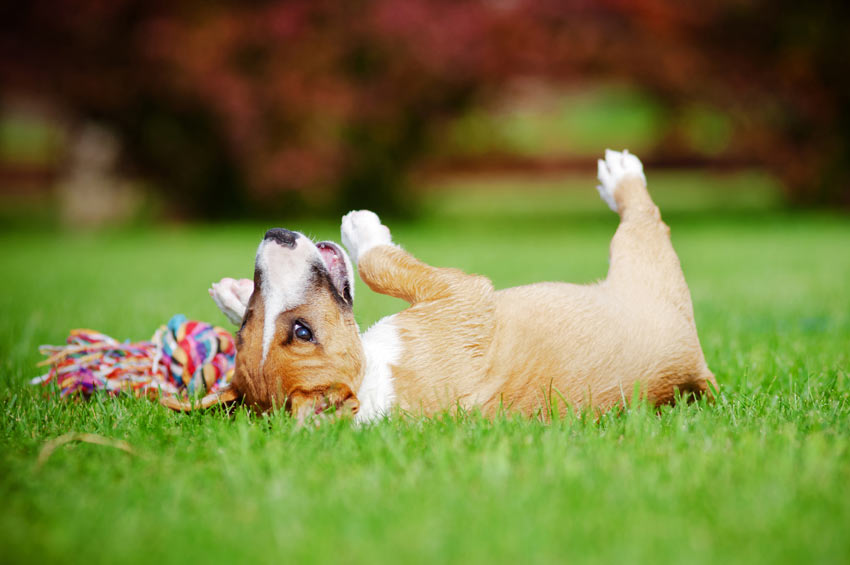 En terrier-valp ruller oppå lekene sine på gresset i hagen