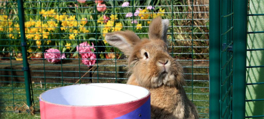 En lodden, lysebrun kanin som står på to bein inni et Eglu Go kaninbur
