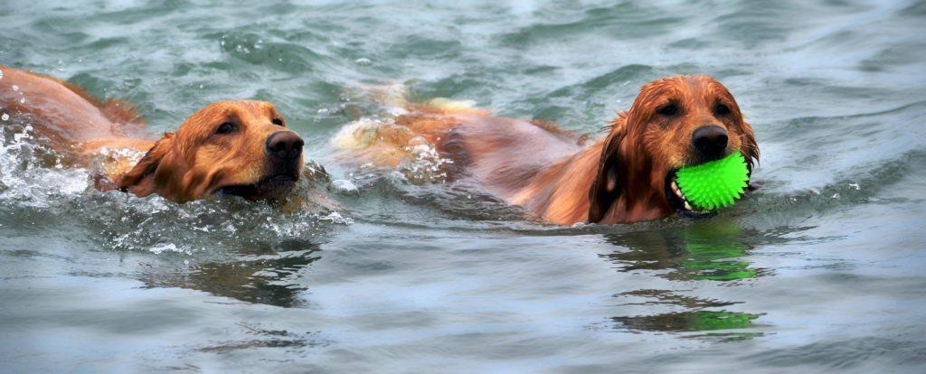 To retriever-hunder svømmende i en elv, den ene med en ball i munnen.