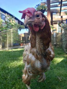 En av de adopterte hønene som går i luftegården, sett forfra.