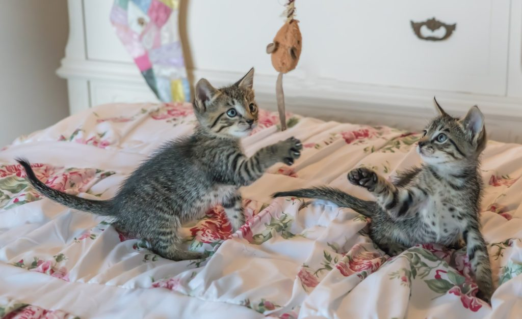 Et par gråstripete kattunger som leker sammen