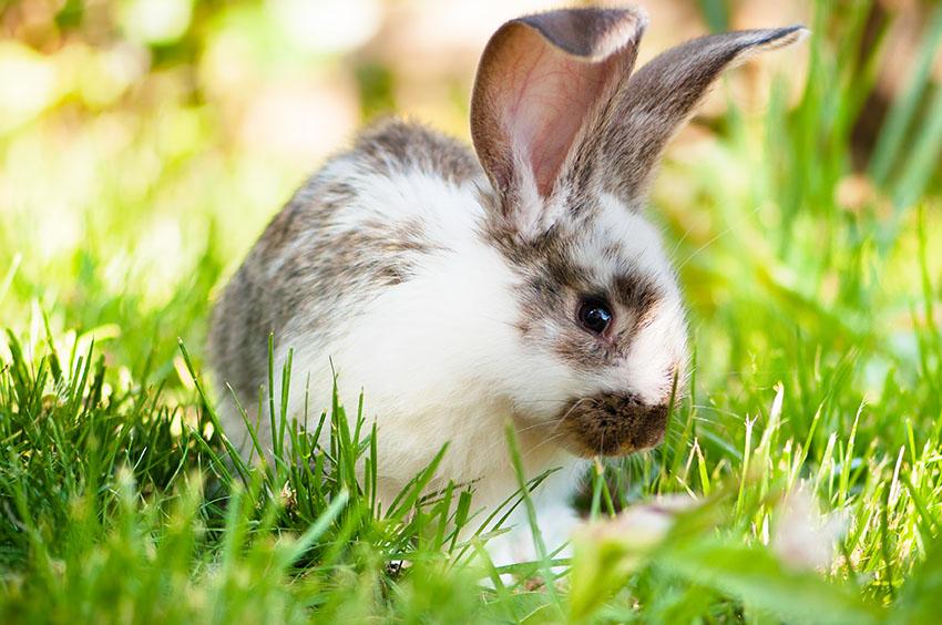 En hvit og brunflekkete kanin på gresset