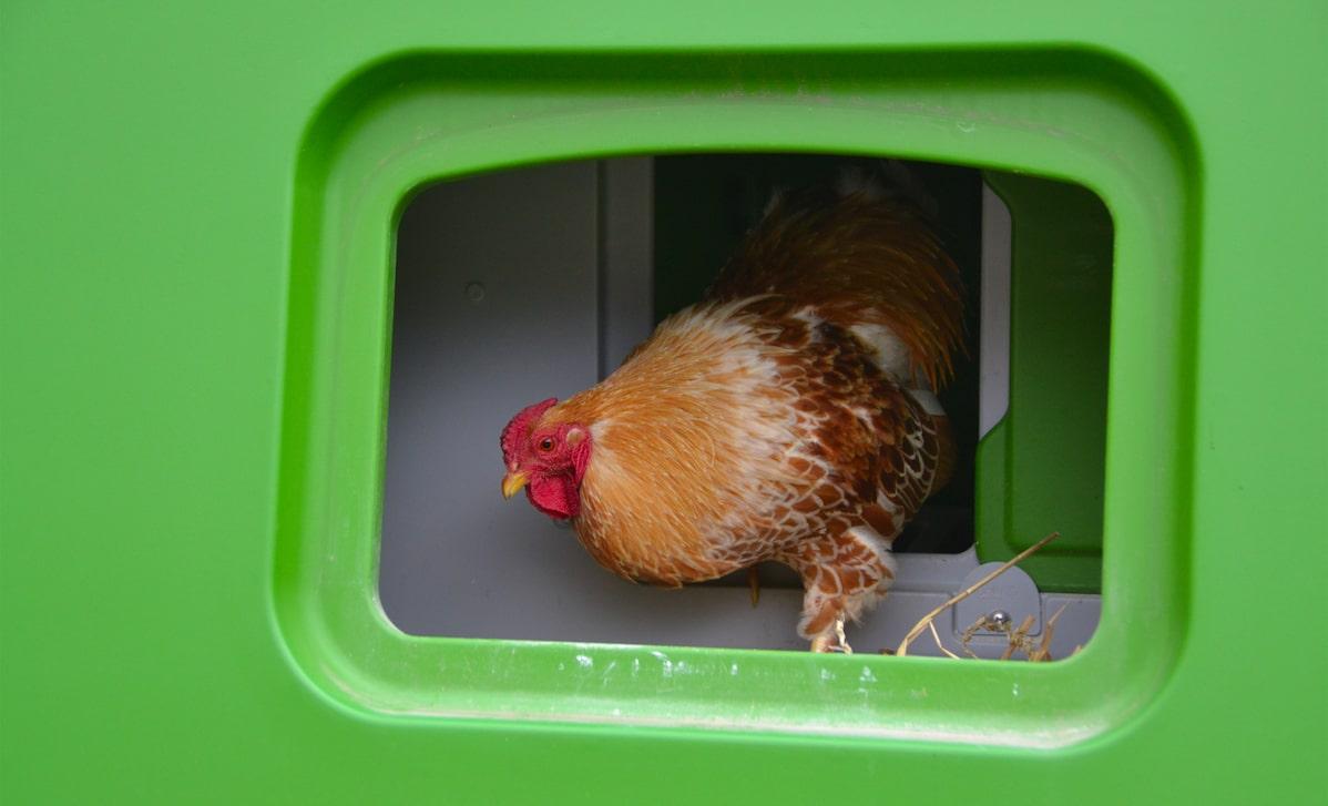 A chicken in the Eglu Cube nesting box