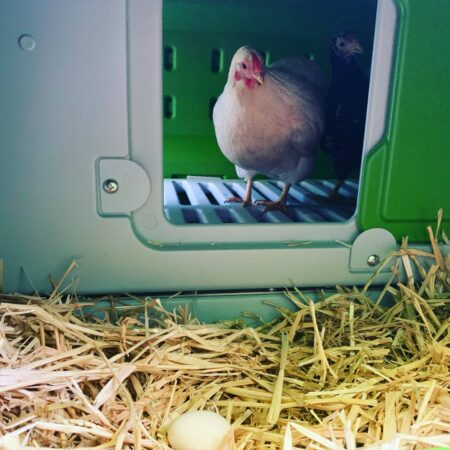 A white chicken with an egg in the Eglu Cube nesting box