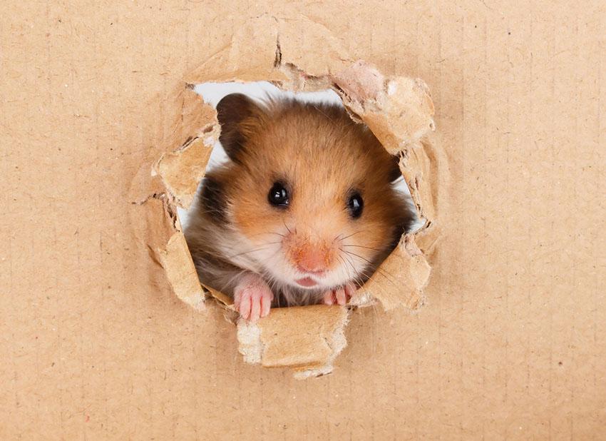 En syrisk hamster som har tygget hull i en pappeske.