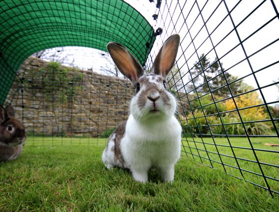 En hvit og flekkete kanin inni en Eglu Go.