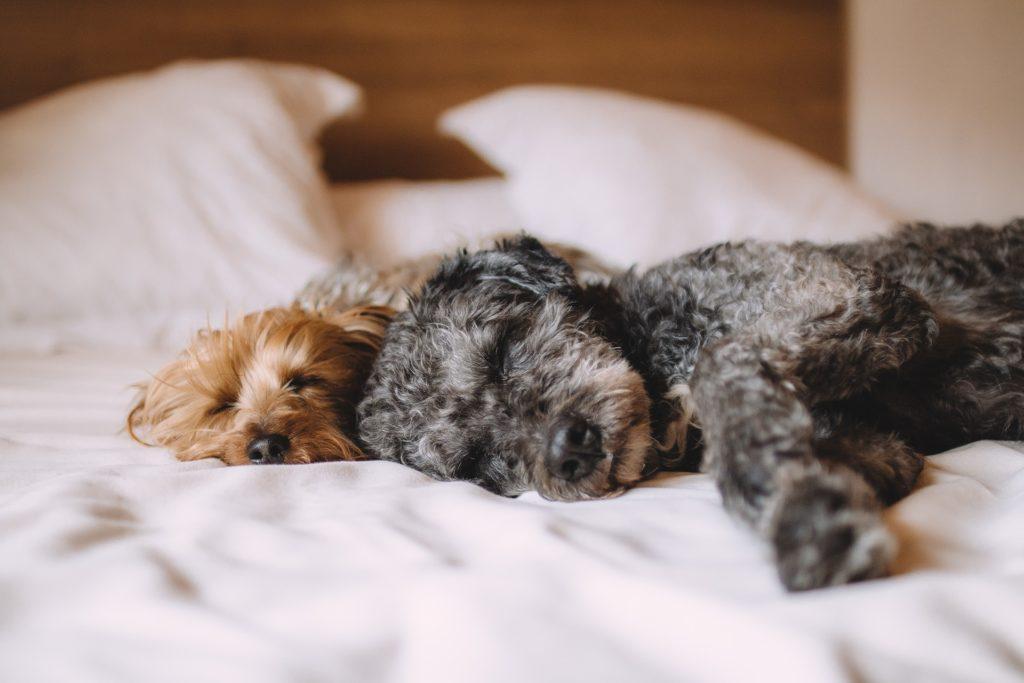 To terrier-hunder som sover i en seng.
