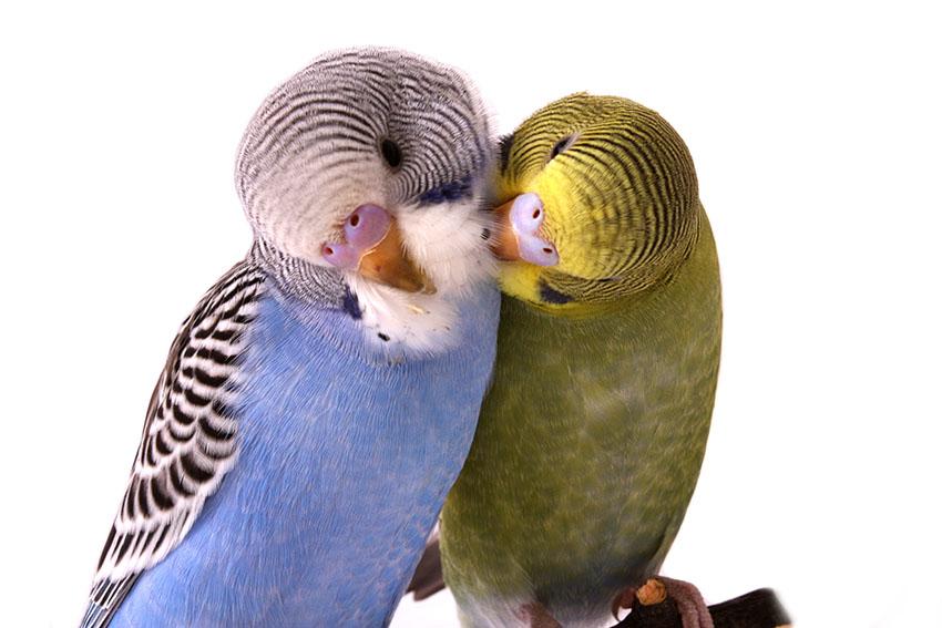 To undulater, en grønn og en blå, som pleier hverandre.