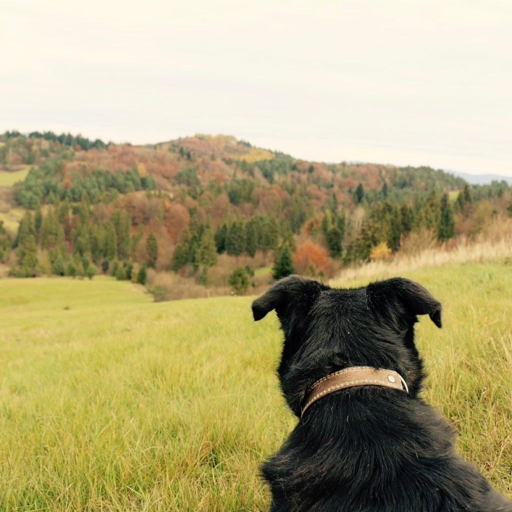 En svart hund med ryggen til kameraet som ser utover en bakketopp i en skog.