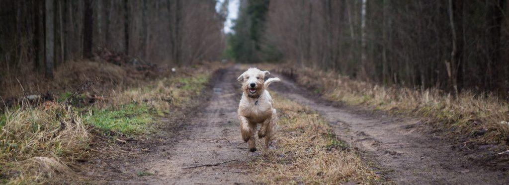 En terrier som kommer springende over en landevei i skogen.