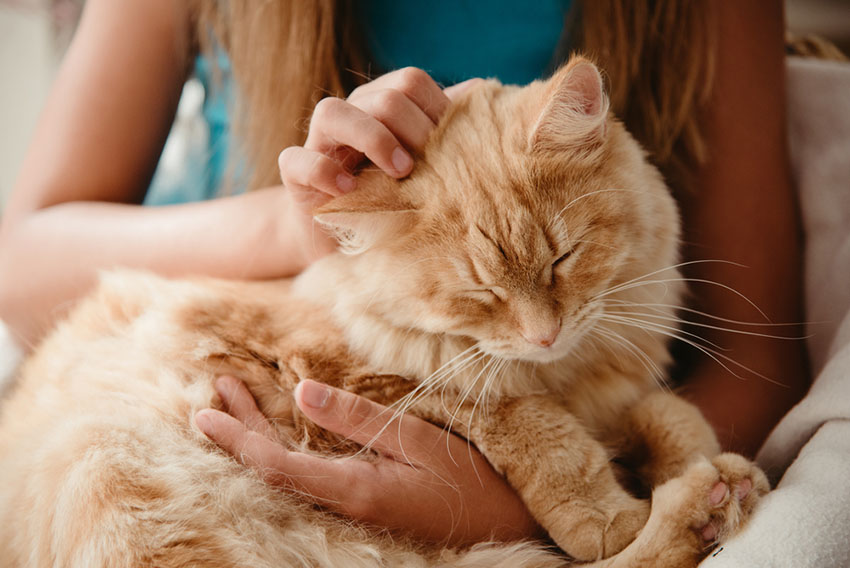 En oransje, langhåret katt sitter på fanget og får kos.