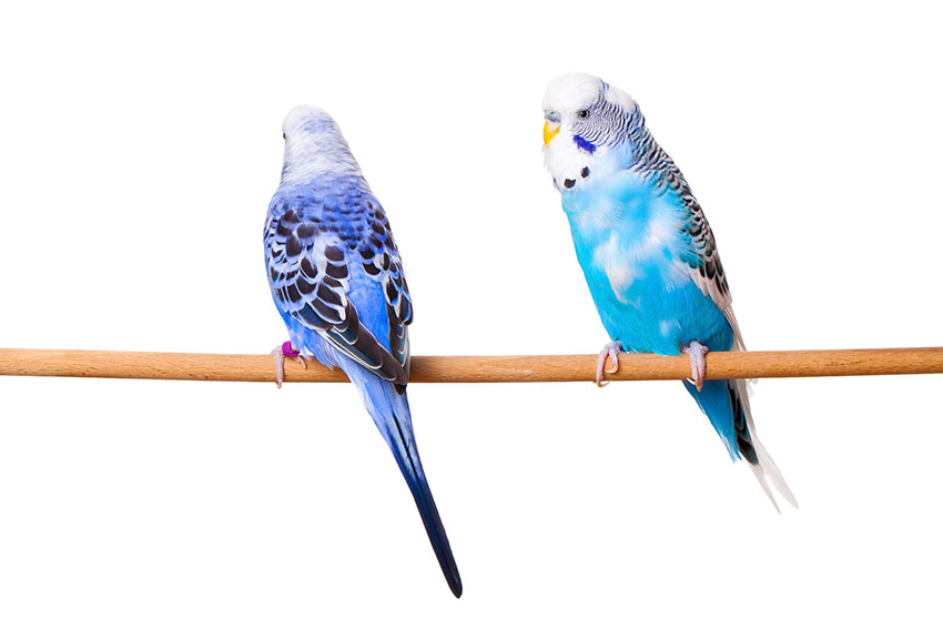 To blå undulater som sitter på en pinne.