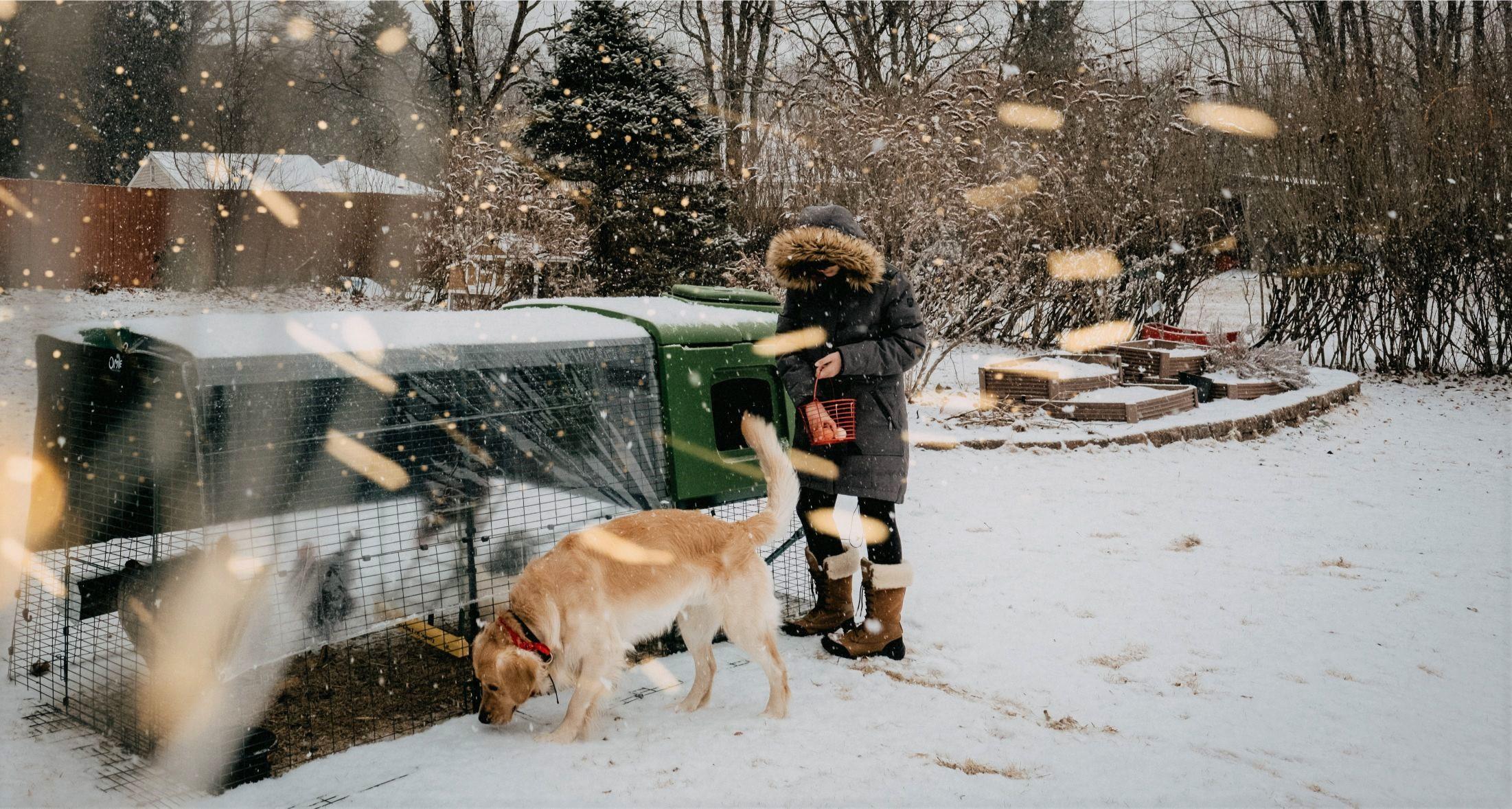 En dame i en stor vinterjakke samler egg fra Egluen sin i vinterværet, mens golden retrieveren hennes sniffer rundt nettingen på hønsegården.