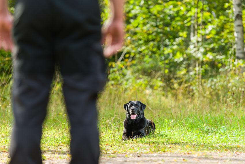 En svart labrador som ligger å venter på neste kommando.