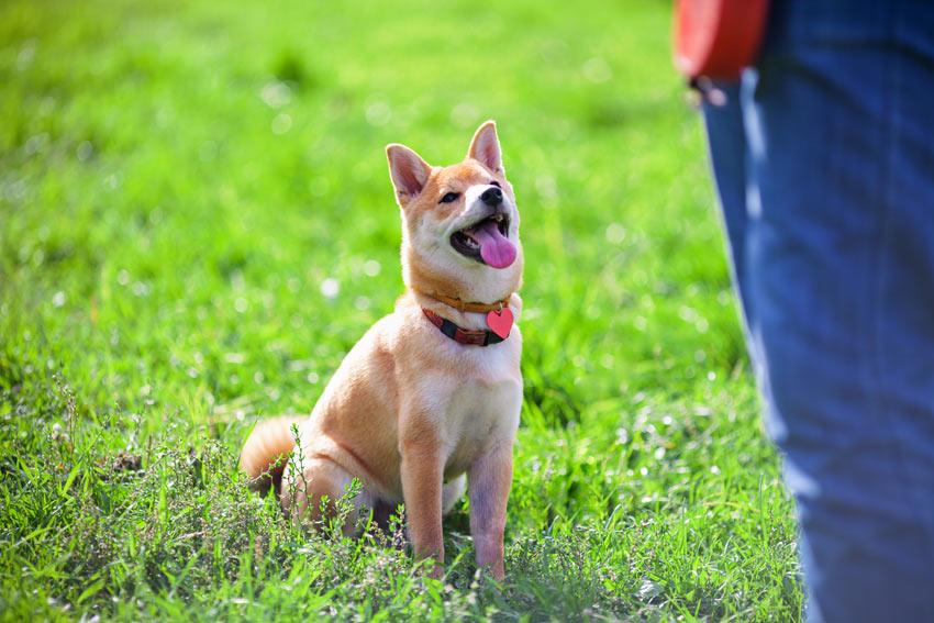 En shiba inu-hund lærer seg kommandoen 'sitt'.