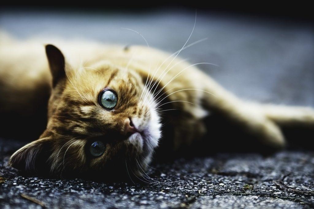 En oransje katt med blå øyne ligger på asfalten og ser dypt inn i kameraet.