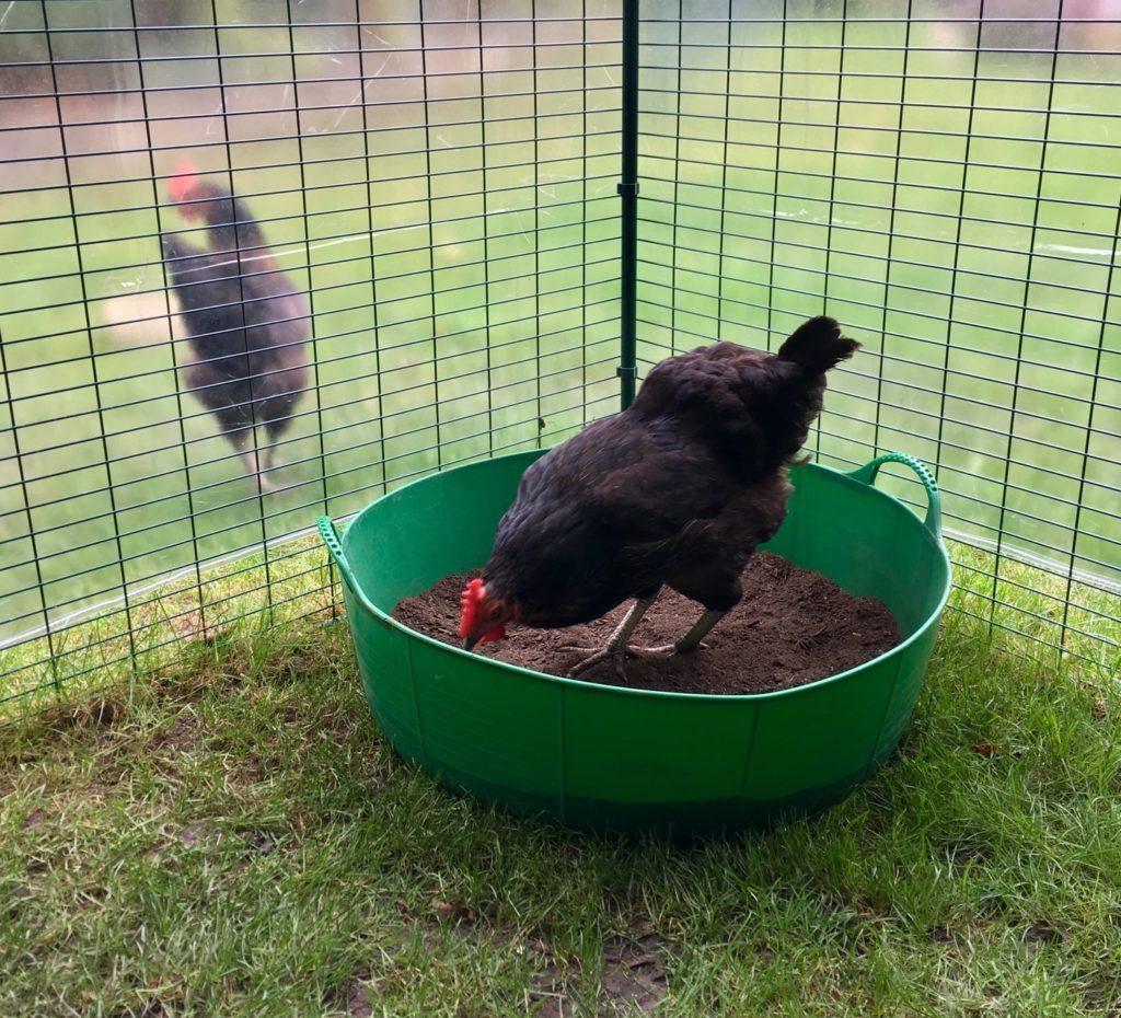 En sort høne koser seg i et hjemmelaget støvbad i en grønn balje.
