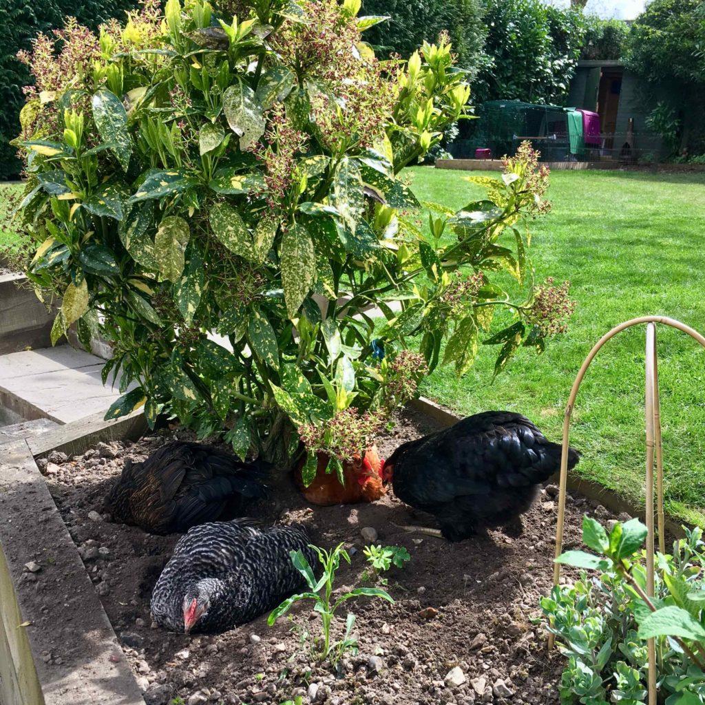 En gruppe høns som støvbader sammen