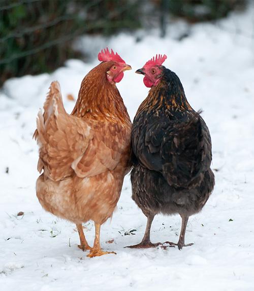 En oransje og en svart høne som går ved siden hverandre på en snøfull dag.