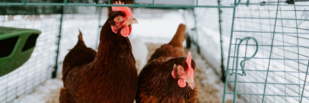 To mørkerøde høner i inngangen av Egluen sin.