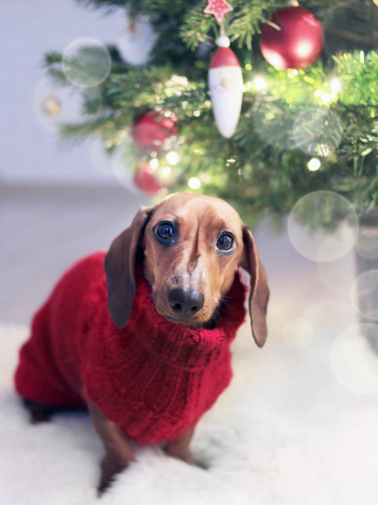 En dachshund ikledd en rød julegenser ved siden av et juletre.