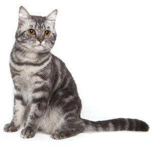 En amerikansk korthåret katt med grå-stripete pels.