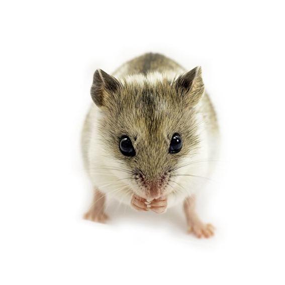 Et kinesisk hamster som spiser.