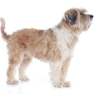 En tibetansk terrier med utrolig myk pels.
