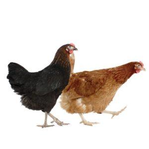 En sort og en gylden høne.