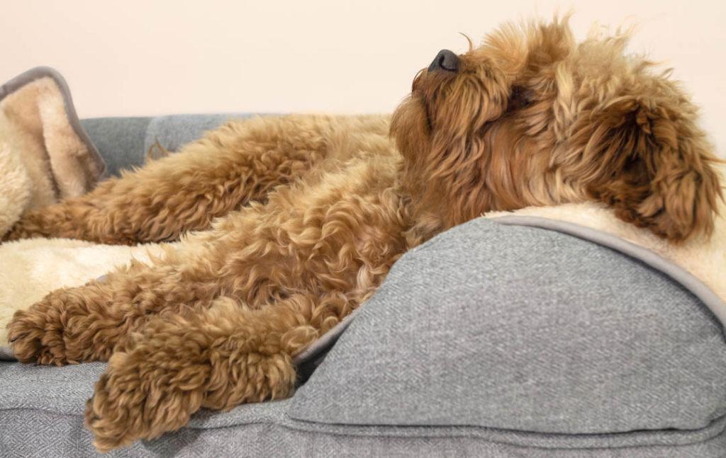 En terrier som ligger å slapper av i bolster-sengen sin.