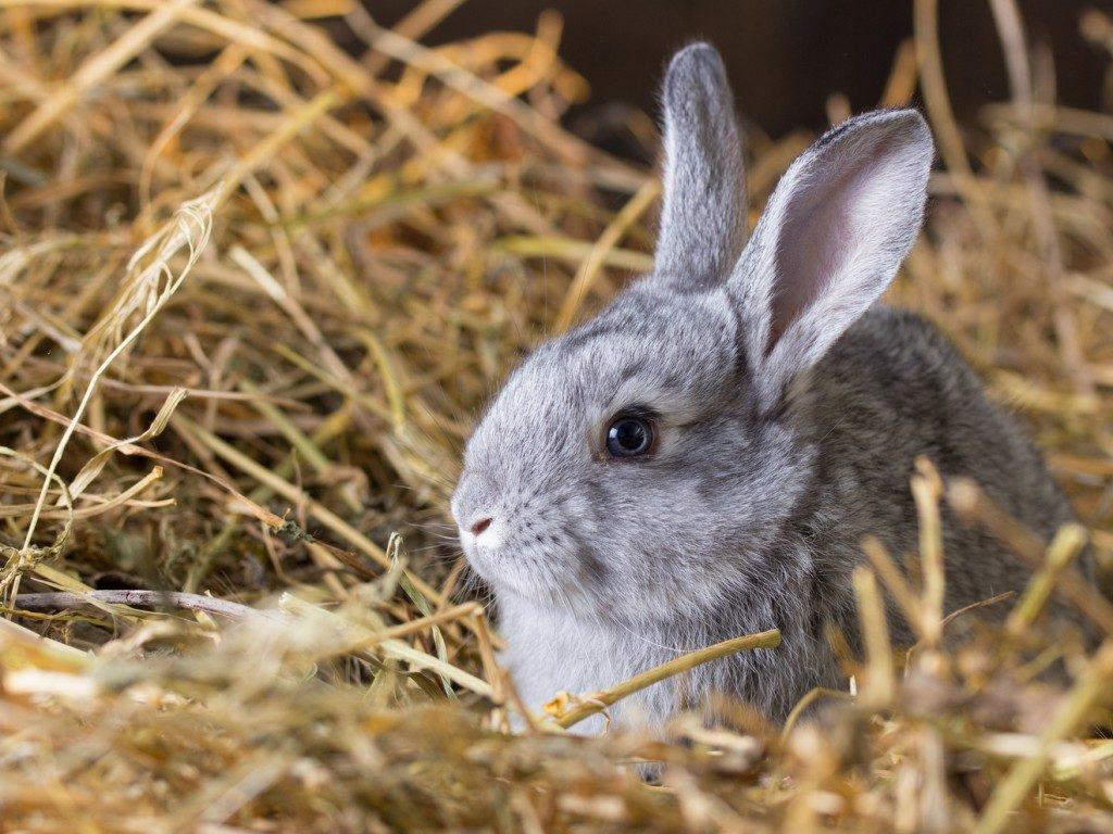 En kanin som ligger godt og varmt i en stor haug med høy.