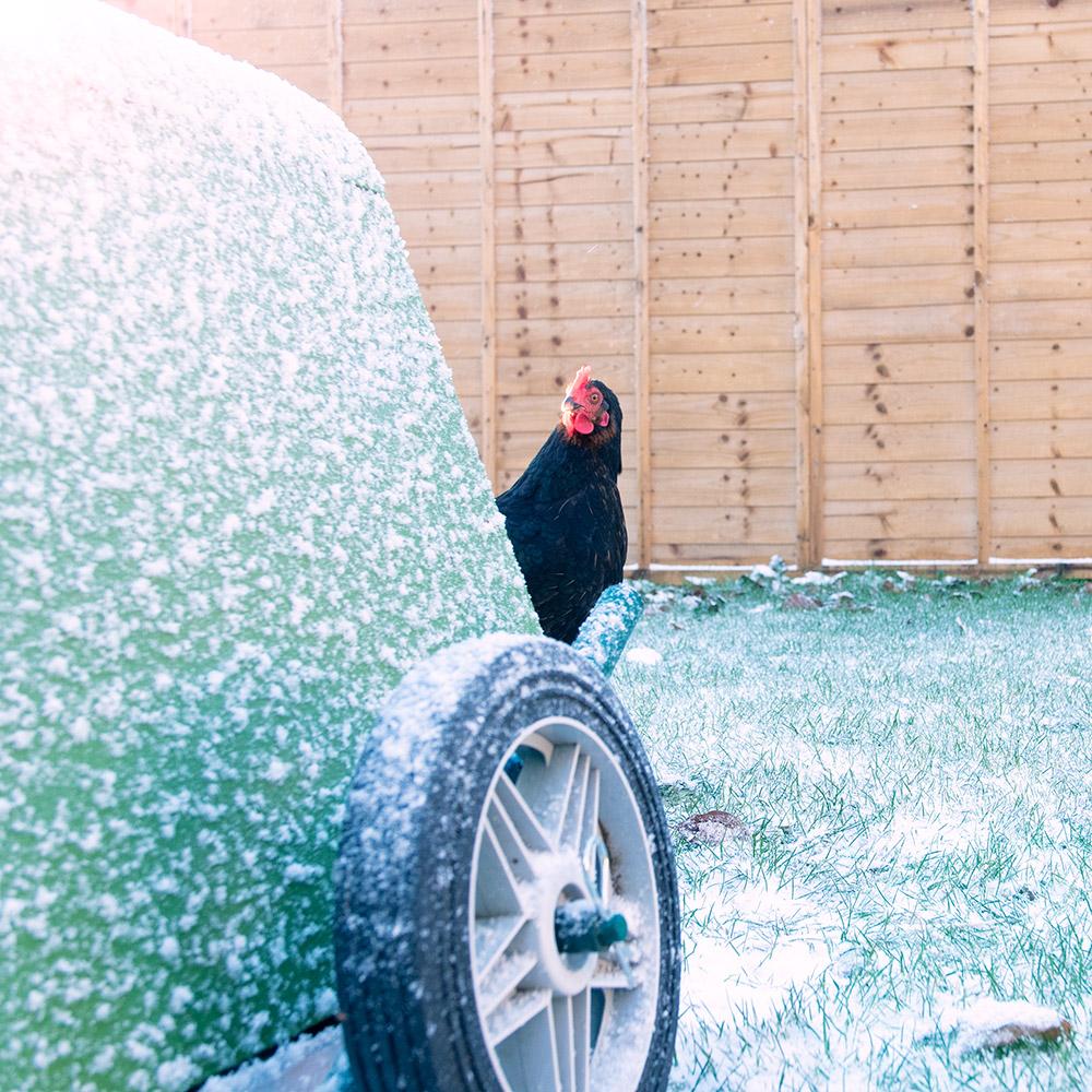 En høne stående bak et Eglu hønsehus dekket av snø.