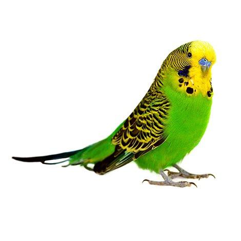 En grønn og gul undulat