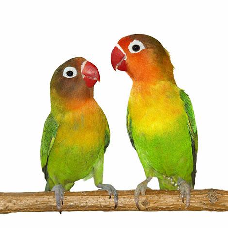 To dvergpapegøyer - lovebirds - som sitter på en gren sammen.