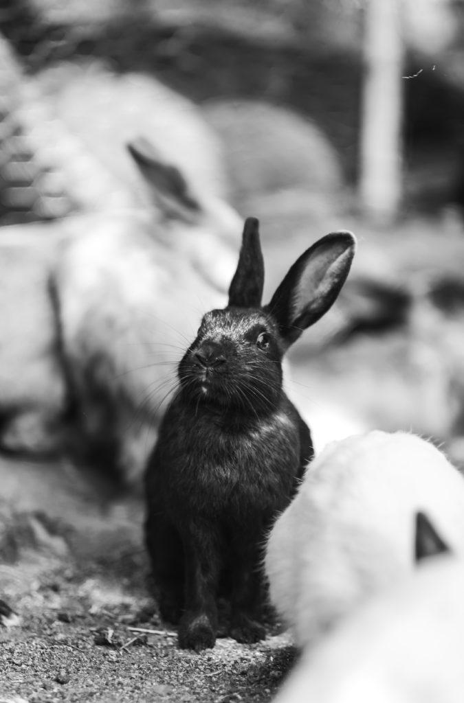 Et bilde i svart-hvitt av en sort kanin med en hvit kanin i forgrunnen.