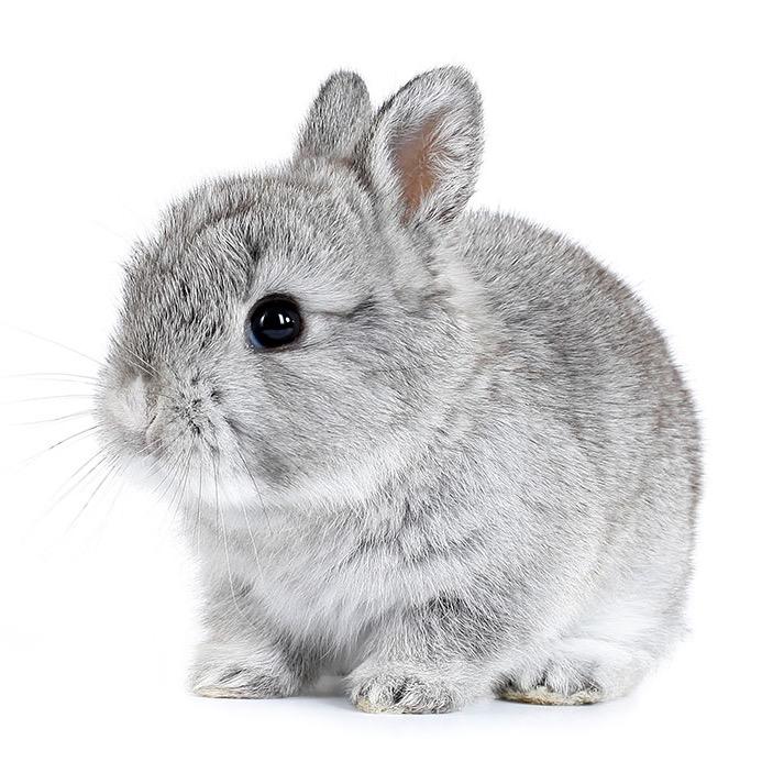 En liten, grå kaninunge.